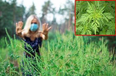 Как победить аллергию на амброзию?